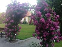 ruze rosarium