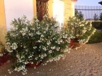 kvetouci oleandry